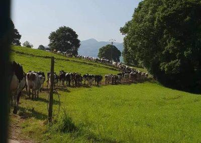 Nuestras vacas bien educadas